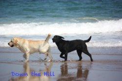 Élevage Down The Hill Labradors