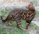 Élevage Leocats