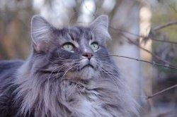 Élevage De Harpsi'cat