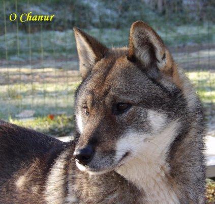 Afficher le site de l'élevage O Chanur