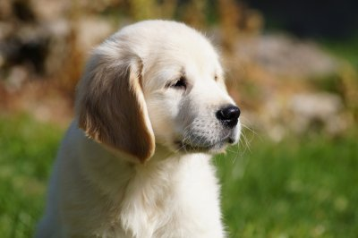 Photo De Chien Race Golden Retriever  Eleveurs Onlinecom