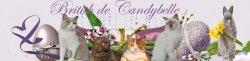 Élevage British De Candybelle