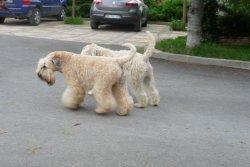 Élevage Soft ' Dog ' City