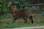 Couleur Bengal's
