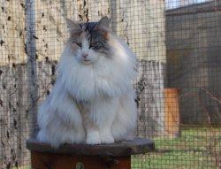 Élevage Forest Cat