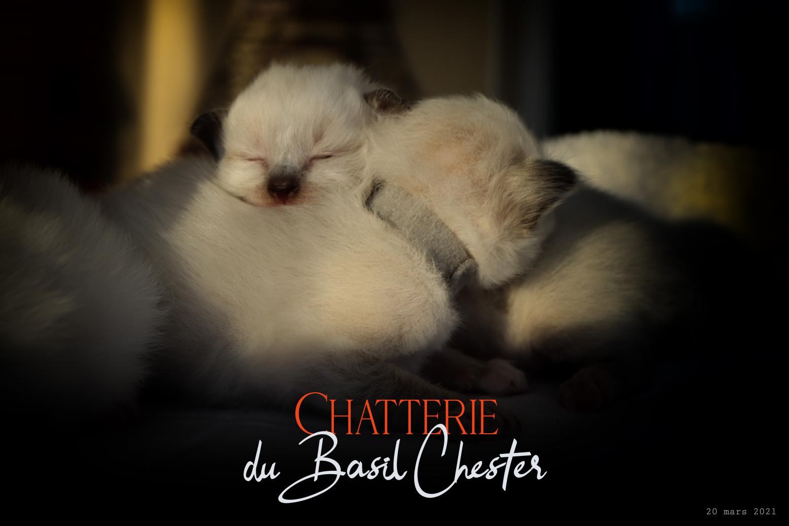 Chatterie Du Basil Chester