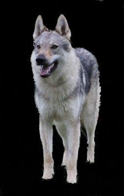Afficher le site de l'élevage The Ending Of Hell Wolves