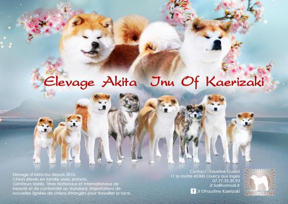 Afficher le site de l'élevage Akita Inu Of Kaerizaki