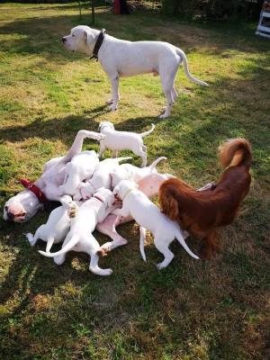 Afficher le site de l'élevage Dogos Del Sol De May