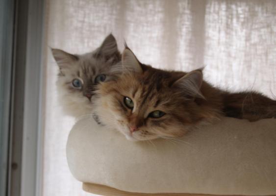 Afficher le site de l'élevage Chaman'jazz'cat