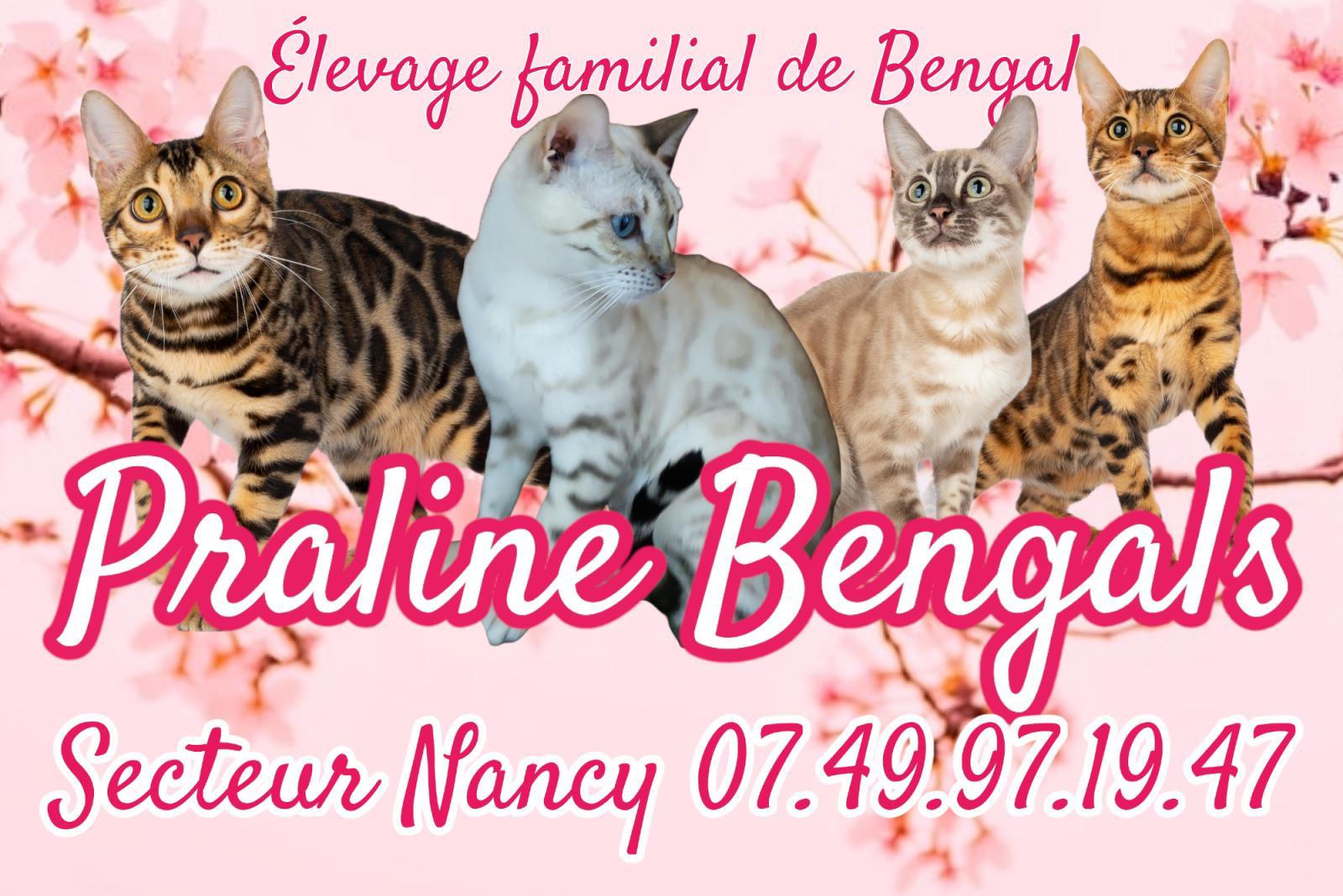 Praline Bengals