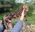 Leocats