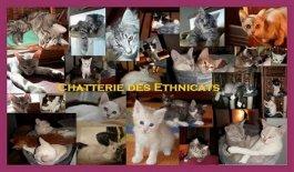 Élevage Chatterie Des Ethnicats