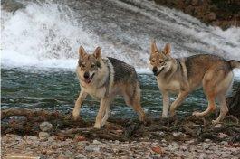 Loups Du Var