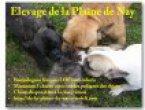 Élevage Bouledogue Français De La Plaine De Nay