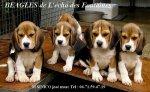 Élevage Beagles De L'écho Des Fontaines
