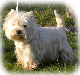 Elevages De West Highland White Terrier Westie En France