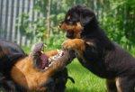 Rottweilers De L'illiason