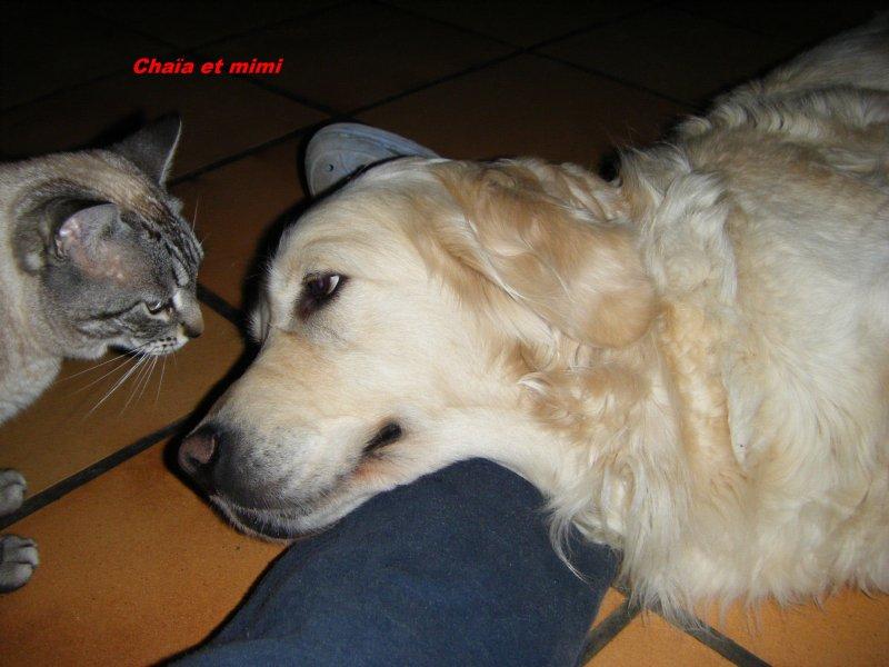 """Chaïlla est notre petite """"sable"""", clair parmi les """"fauves"""", en recherche permanente d'affection et de caresse, en retour elle nous donne tout ce qui est possible pour une chien. Pour le moment c'est encore un bébé, il nous tarde de la voir évoluer."""