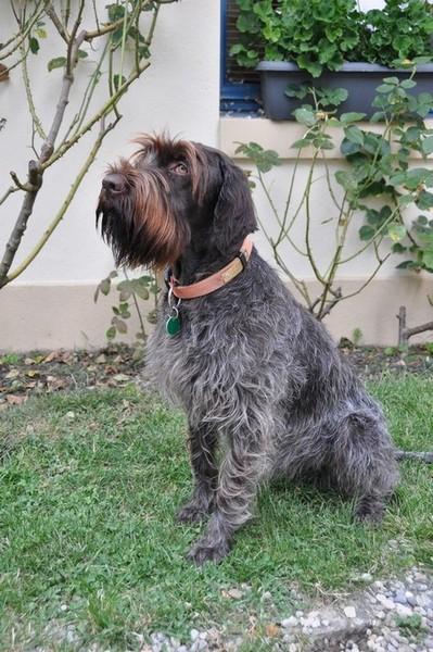 GYNA est issue de la portée de BRITTA de la PLUME d'ARGENT (dysp A - Test ADN Comp 1er choix cotée 2/6) et de BANGO des SOURCES de MAZERES (dysp. A  - Test ADN Comp - Sélectionné coté 3/6).<br /> Elle est Trialer, dysp. B, Test ADN Comp Recommandée cotée 4/6, Vice Championne de France 2014 pour la conformité au standard.<br /> Gyna est une chienne très équilibrée, super gentille à la maison avec une excellente morphologie, un excellent poil, de grandes aptitudes au travail au bois, en montagne, en plaine et à l'eau.