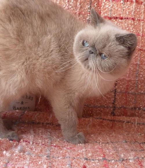Femelle Exotic-Shorthair Colourpoint Bleu point