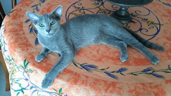 Ce joli chaton est arrivé de LOS ANGELES via Paris par son éleveuse. <br /> Super chat , très vite à l'aise dans sa nouvelle maison . <br /> Très câlin , adore être dans les bras et ronronne comme une locomotive