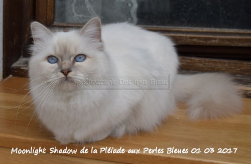 Très belle princesse venue de Belgique au corps cobby et bien charpenté, aux yeux d'un bleu lumineux, avec un caractère divin et une fourrure incroyablement douce et belle. Elle s'entend avec tout le monde (chats et humains) grâce à son côté très bien dans sa peau et ses pattounes.
