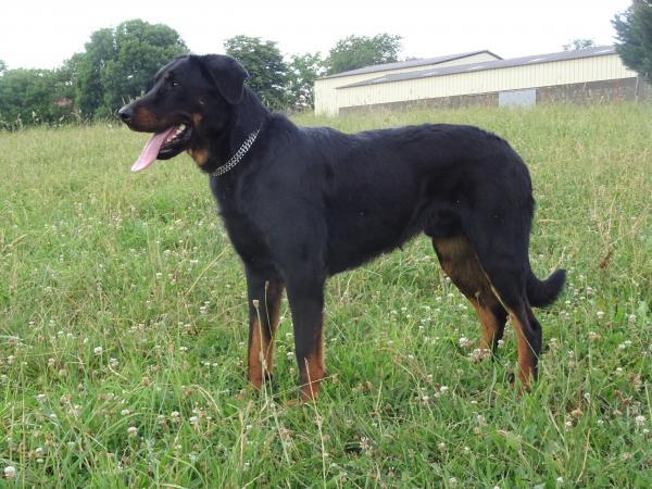 chien grand gabarit, très proche de l'homme, travaille tous les jours sur troupeau