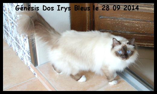 Chatte douce et timide, d'un bon gabarit (3.9 kg) a eu une seule portée de 5 chatons à ce jour. Très bonne maman attentionnée. Actuellement sous implant (castration chimique)