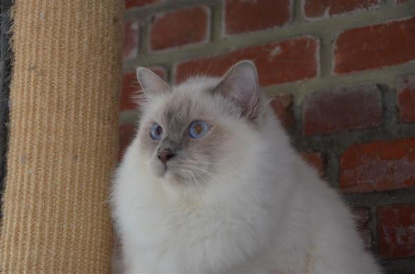 Très belle fourrure, belle carrure, de très beaux yeux bleus<br /> D'une très grande gentillesse, il est vraiment adorable.<br /> Il est le fils de Lennon