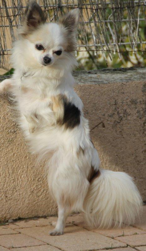 Myriades Odelys Actualite Pour La Race Chihuahua A Poil Long