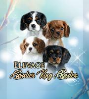Elevages De Cavalier King Charles Spaniel En France
