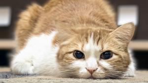Le chat et la douleur
