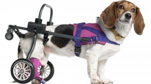 Réapprendre à un chien à marcher