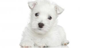 Pelage blanc du chien : comment le garder intact ?