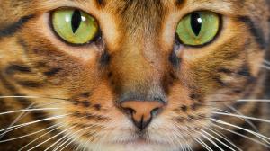 Robes du chat : des tests génétiques pour mieux les programmer