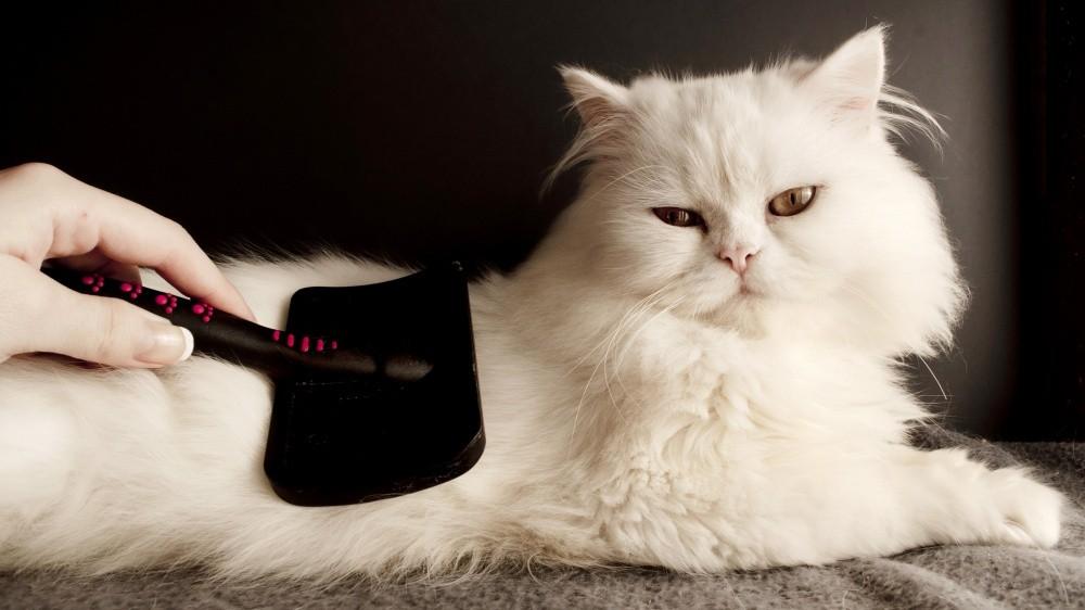 Chats à poil long : N'oubliez pas de les brosser tous les jours