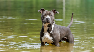 American Staffordshire Terrier - Standard de race FCI 286