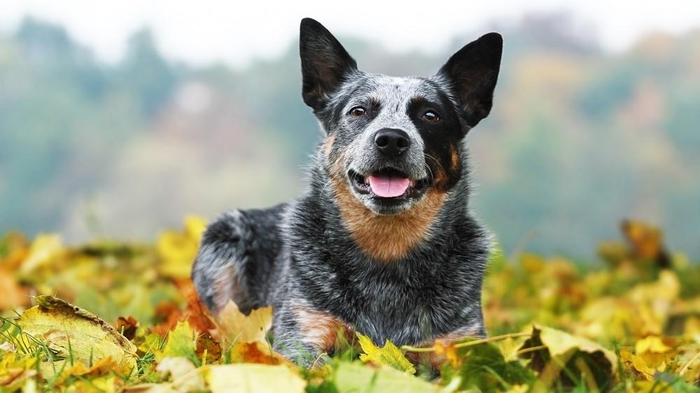 Australian Cattle Dog - Standard de race FCI 287