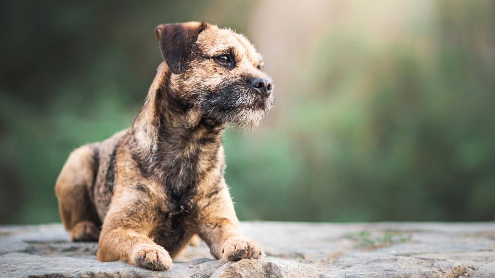 Border Terrier - Standard de race FCI 10