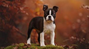 Boston Terrier - Standard de race FCI 140