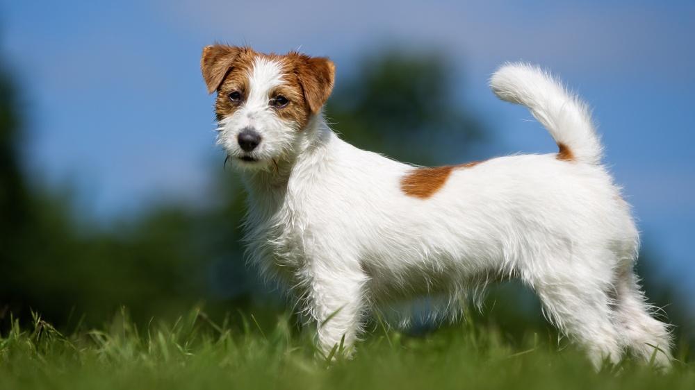 Jack Russell Terrier - Standard de race FCI 345