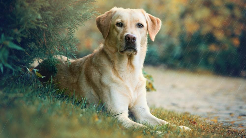 Labrador Retriever - Standard de race FCI 122