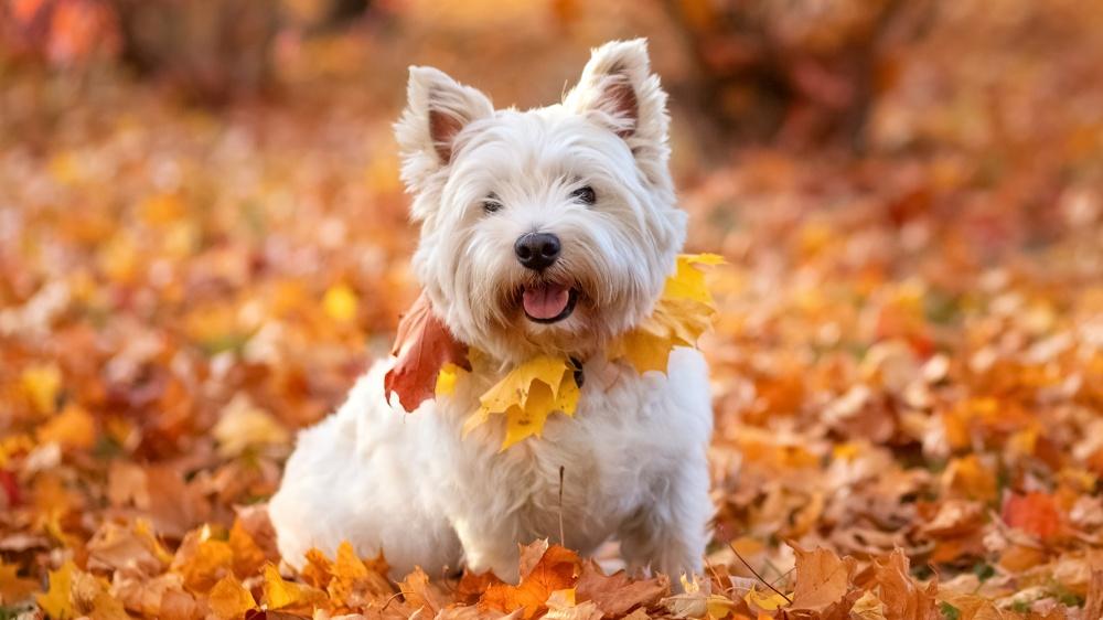 West Highland White Terrier - Standard de race FCI 85