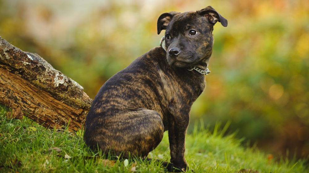 Staffordshire Bull Terrier - Standard de race FCI 76