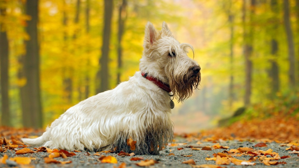 Scottish Terrier - Standard de race FCI 73