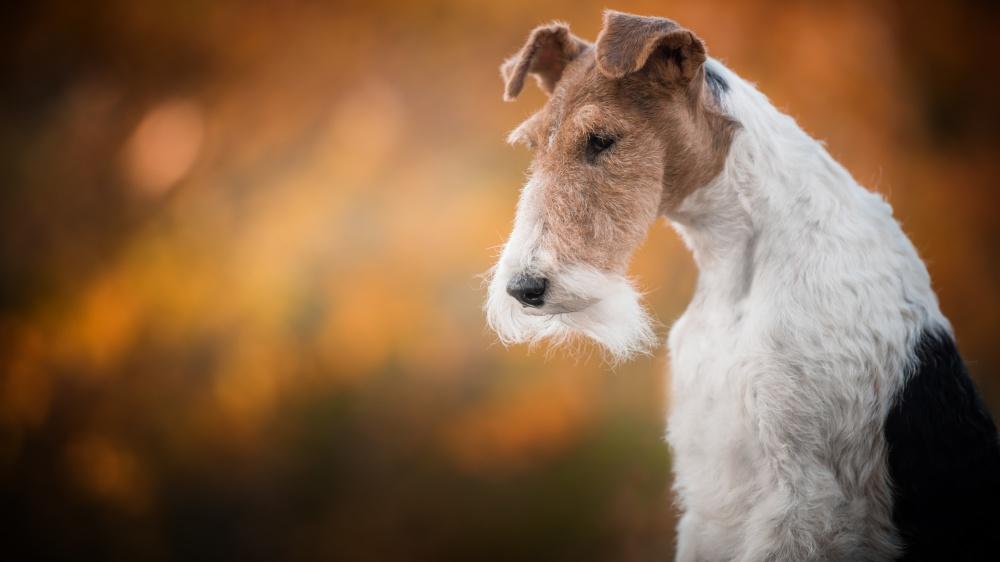 Fox Terrier À Poil Dur - Standard de race FCI 169