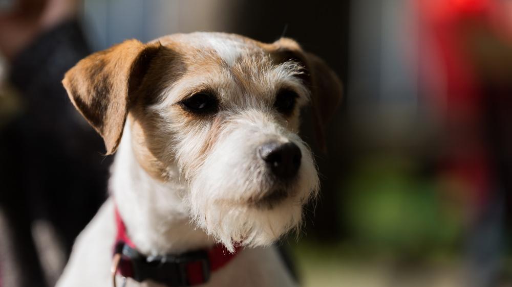 Parson Russell Terrier - Standard de race FCI 339