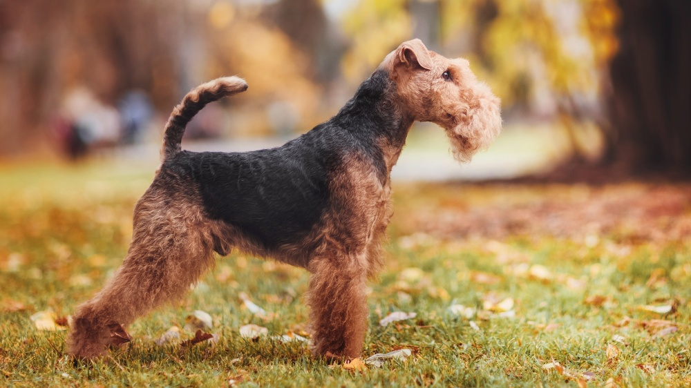 Welsh Terrier - Standard de race FCI 78