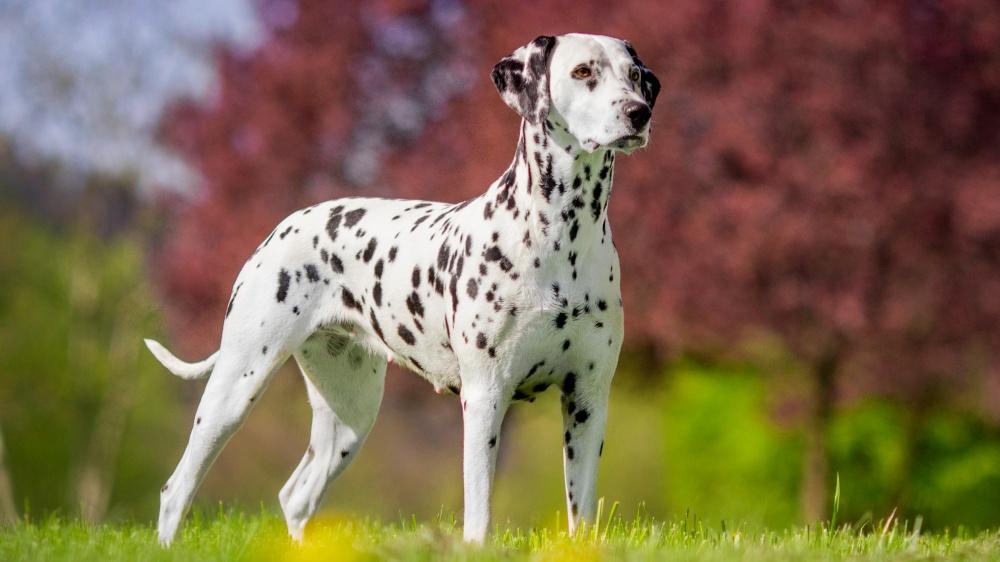 Dalmatien - Standard de race FCI 153